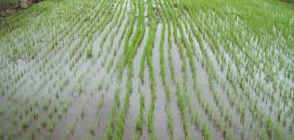 نتيجة بحث الصور عن صور الأرز والقطن