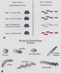 Mbk Bacterial Morphology College Paper Example