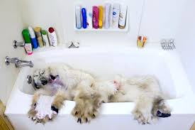 bear pelt grizzly bear pelt rug bear pelt