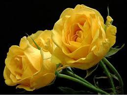 """Képtalálat a következőre: """"sárga rózsa képek"""""""
