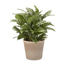 Exotic Angel Plants Calathea (L2924HP)
