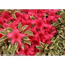 Flowering Shrub  Spiraea  Shrubs  Trees U0026 Bushes  The Home DepotShrub With Pink Flowers