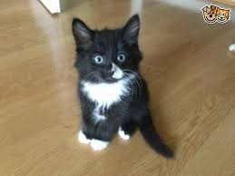 black and white kittens for sale. Contemporary Black Long Haired Black And White Kitten Doe Sale  Waltham Abbey Essex  Pets4Homes With Black And White Kittens For Sale N