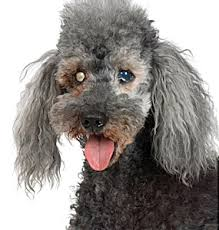 change of the lens in pets over 7 years of age which causes the lens to appear somewhat whiter or grayer but does not seem to impair the dog s vision