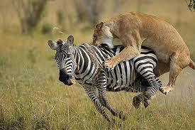 Animal Facts in Hindi   Zebra   YouTube