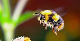 Bee Identification Chart Uk The Ultimate Guide To British Bees How To Protect Them