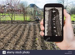 gardening concept farmer photographs the planting of potatoes in furrow in vegetable garden in spring season on smartphone