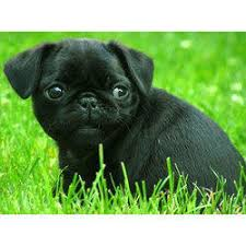height male 30 cm female 25 cm gender male color black age newborn breed pug life span 12 to 15 more