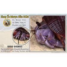 Vio Ốc mượn hồn chất lượng cao - Vio Harmit crab Indo chính hãng