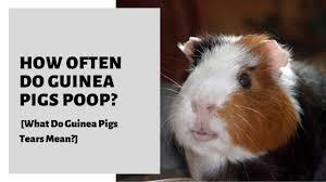 how often do guinea pigs what