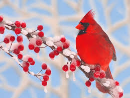 Image result for red cardinal