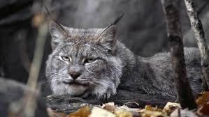 lynx size canada lynx majestic predator dinoanimals com