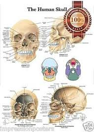 Details About New The Human Skull Anatomy Anatomical Diagram Guide Chart Print Premium Poster