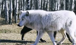 white wolf growling gif. Contemporary Gif On White Wolf Growling Gif