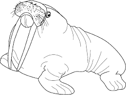 Small Picture Coloring walrus with his tusks picture
