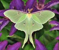 What Did Moths Do Before Lights Why Are Moths Attracted To Light Pitara Kids Network