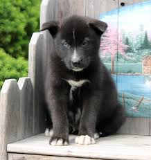 husky black lab mix puppy. Fine Mix Pet For Sale Throughout Husky Black Lab Mix Puppy I
