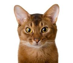 orange house cat