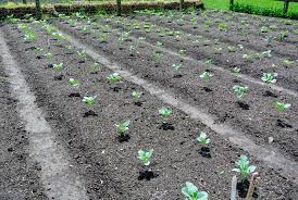 a couple of weeks ago ryan and wilmer planted several beds of cruciferous vegetables cruciferous is the scientific name given to a group of vegetables