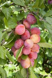 Governoru0027s Plum Flacourtia Indica Is A Species Of Flowering Kerala Fruit Trees