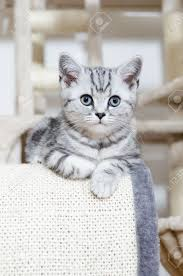 british shorthair silver tabby cat looking stock photo 27861437