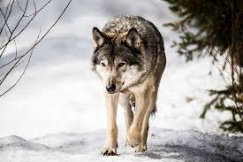 Kuvahaun tulos: susi ilmaiset kuvat