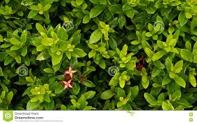 red jasmine flower blooming