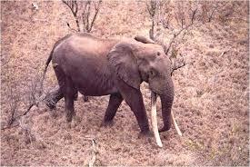 Image result for Mafunyane tusker