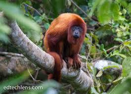 real jungle animals monkeys. Contemporary Animals Red Howler Monkey Inside Real Jungle Animals Monkeys U