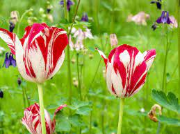 14 Types of Tulips for Your Garden
