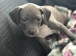 blue nose pitbull puppies.  Blue Blue Nose Pitbull Puppies For Free And Nose Pitbull Puppies Smart Dog Lover