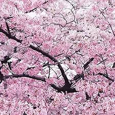flower tree pictures. Delighful Flower Giant Japanese Pink Cherry Blossom Sakura Tree 20 Seeds Oriental Sweet  Prunus Flower Seeds Throughout Tree Pictures F
