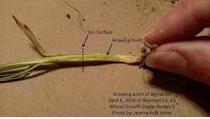 Winter Wheat Growth Stages Chart Wheat Development Wheat Agronomy Sunflower District