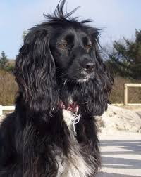 the working strain of er spaniel is one of the most por hunting dog breeds in