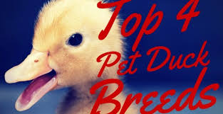 Domestic Duck Breeds Chart Top 4 Pet Duck Breeds
