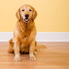 Best hardwood floors for dogs Hickory Hethrone How To Dogproof Your Hardwood Floors Canadian Living