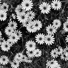 black and white flowers tumblr photography. Contemporary And Flower Clusters Pattern From Black And White Flowers U2013 A Study In Form Throughout And Tumblr Photography R