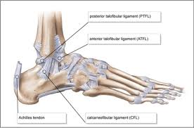 Ankle Bone Chart Diagram The Ankle