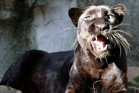albino black panther. Perfect Panther Black Panthers In Albino Panther Y