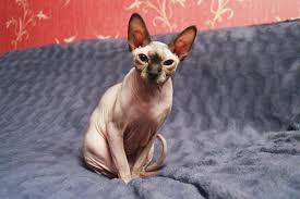 Sphynx Cat Color Chart Sphynx Cat Breed Information Pictures Characteristics Facts