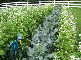 garden cover crop. {gardening} Cover Crops 101 For Your Home Garden! Garden Crop