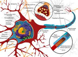 Реферат по курсу Анатомия центральной нервной системы Тема  Схема строения нейрона