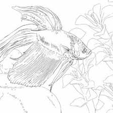 Siamese Fighting Fish Coloring Page Free Printable Coloring Pages