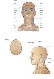 Marma Chart Susruta Head Marmas