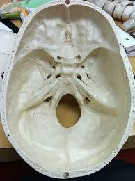 Foramen magno en cráneo humano