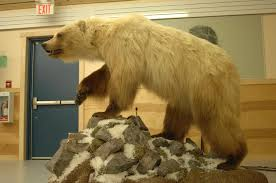 grolar bear size bears breed across species borders