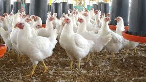 Resultado de imagen para imagenes de pollos