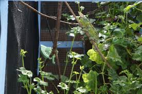 jackson s chameleon in an outdoor cage
