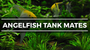 Platy Compatibility Chart 15 Great Angelfish Tank Mates Complete Compatibility Guide