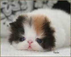 pictures of baby kittens baby kitten pictures pictures of kittens